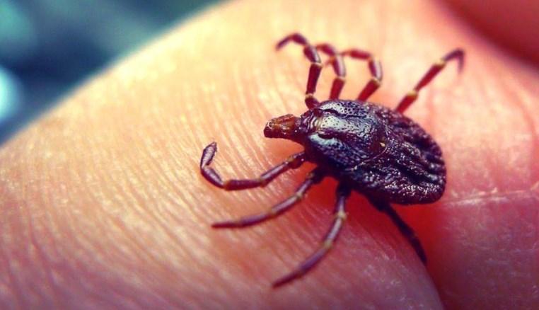 Чим небезпечні укуси кліщів і як вберегтися від них