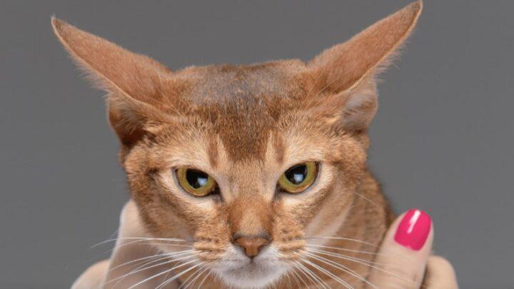 Як лікувати котячі укуси і подряпини: чи можуть вони бути небезпечні?